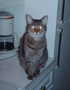 Dieter aka 'Gato Diablo' - (Felis Catus Domestica)