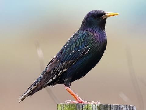 The Starling - A Bird that it's Okay to Hate